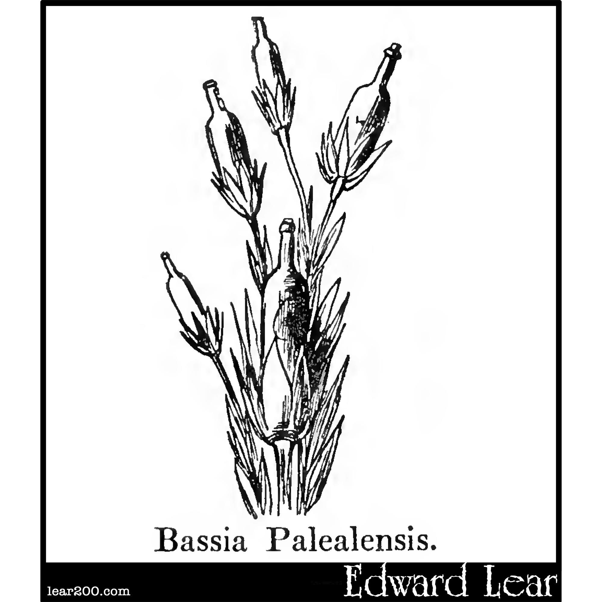 Bassia Palealensis.