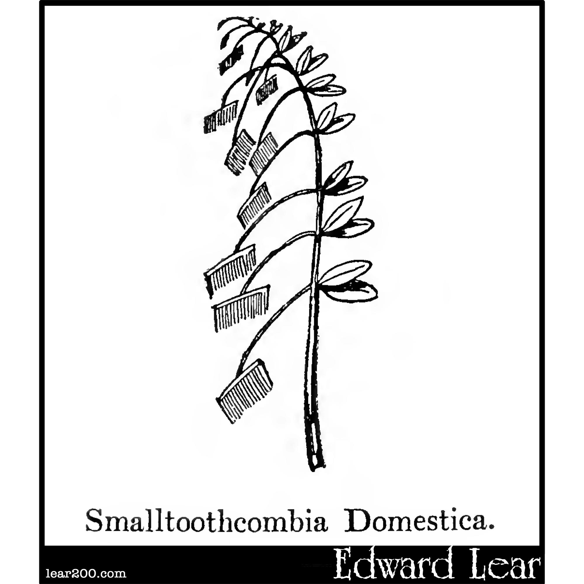 Smalltoothcombia Domestica