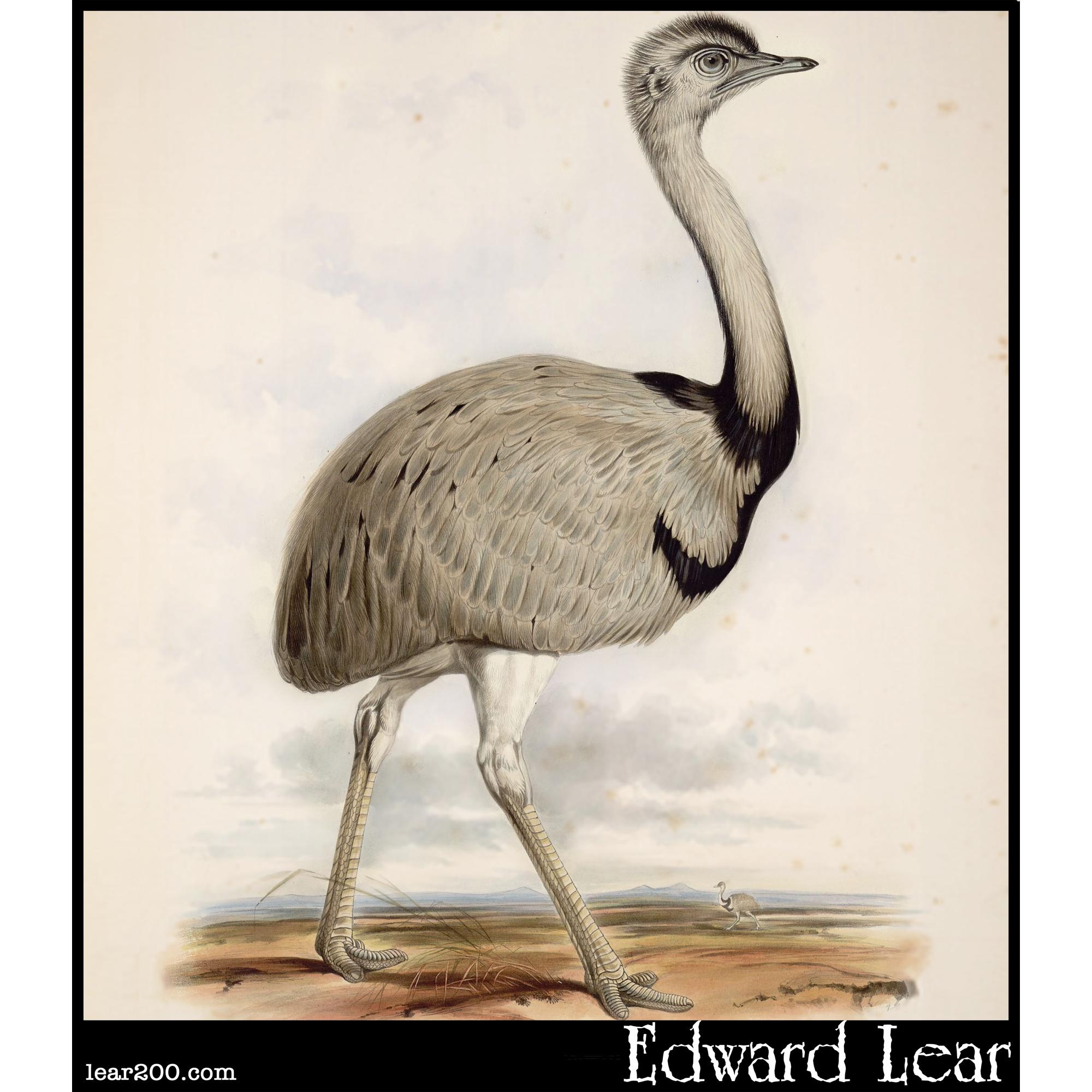 American Emu, Rhea Americana