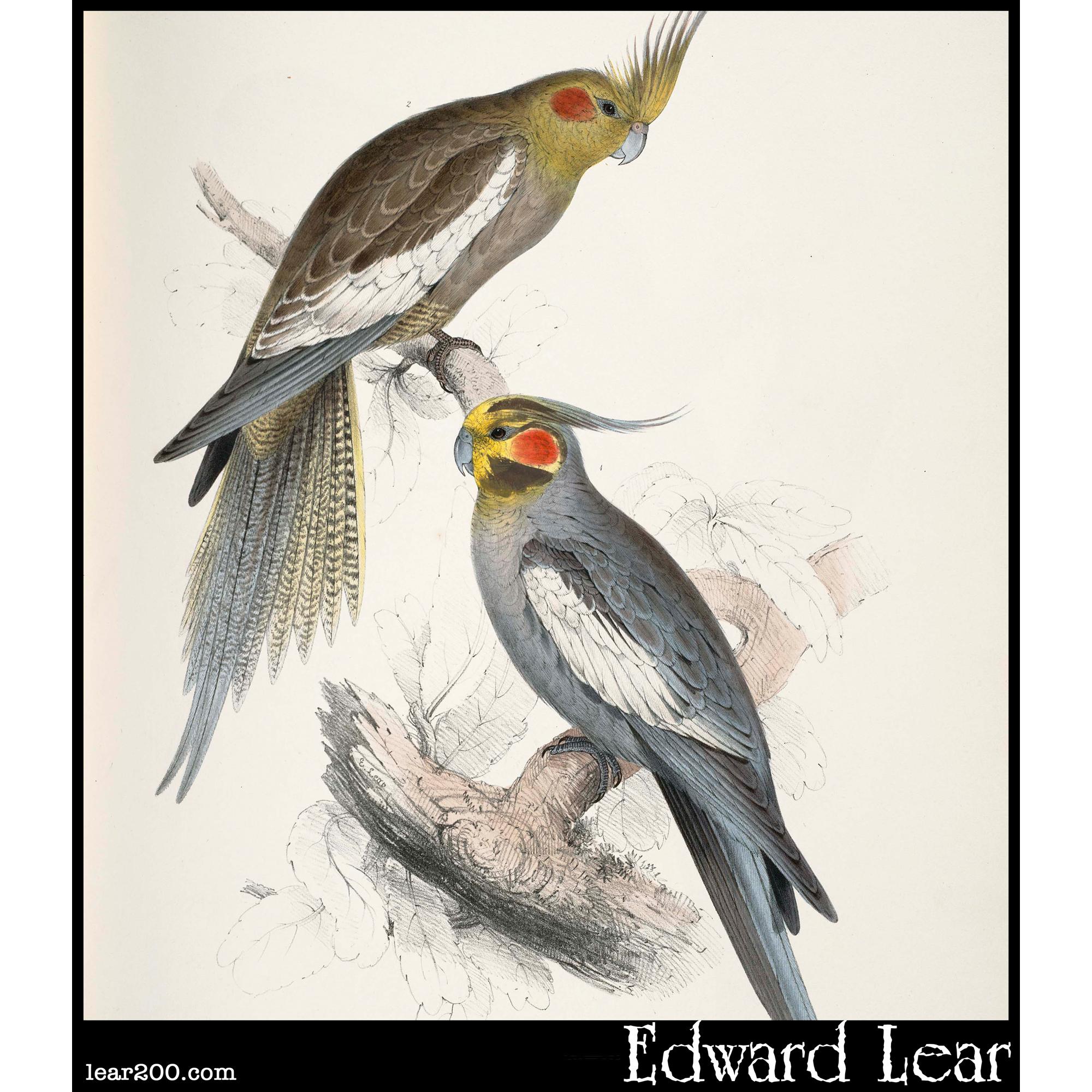 Palaeornis novae-hollandiae,  New Holland Parakeet