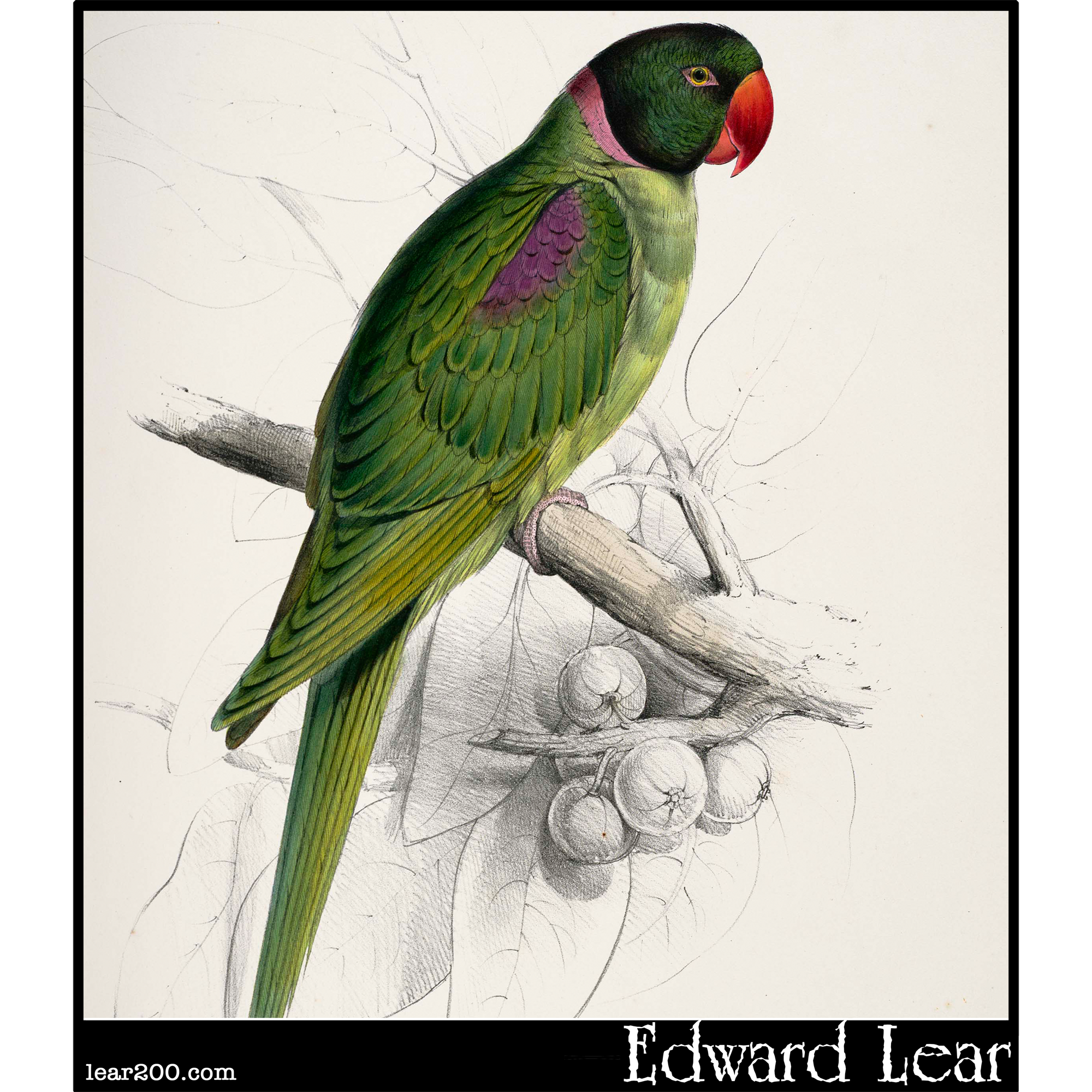 Palaeornis cucullatus, the Hooded Parakeet