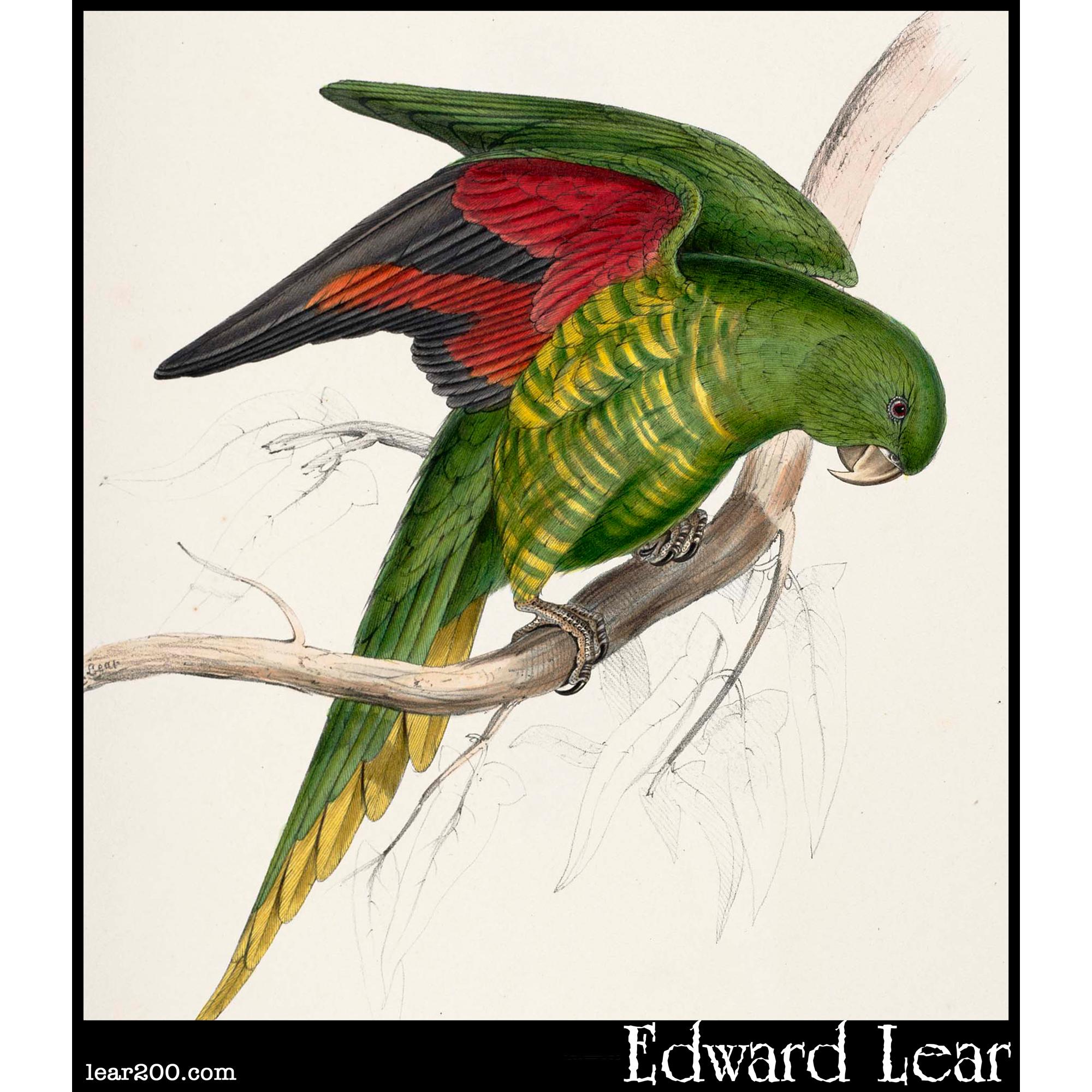 Trichoglossus matoni, Maton's Parakeet