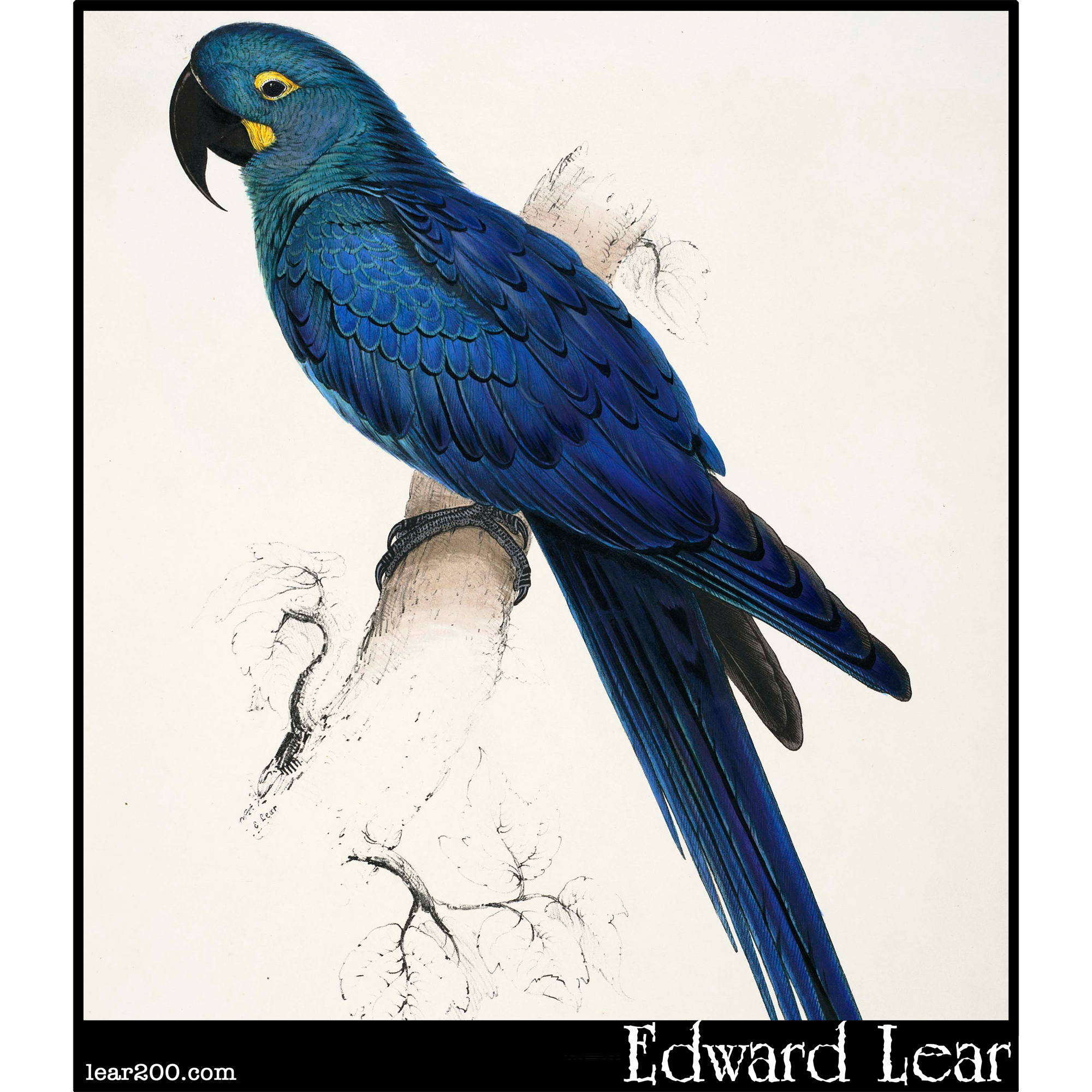 Hyacinth Macaw (Macrocercus hyacinthinus )
