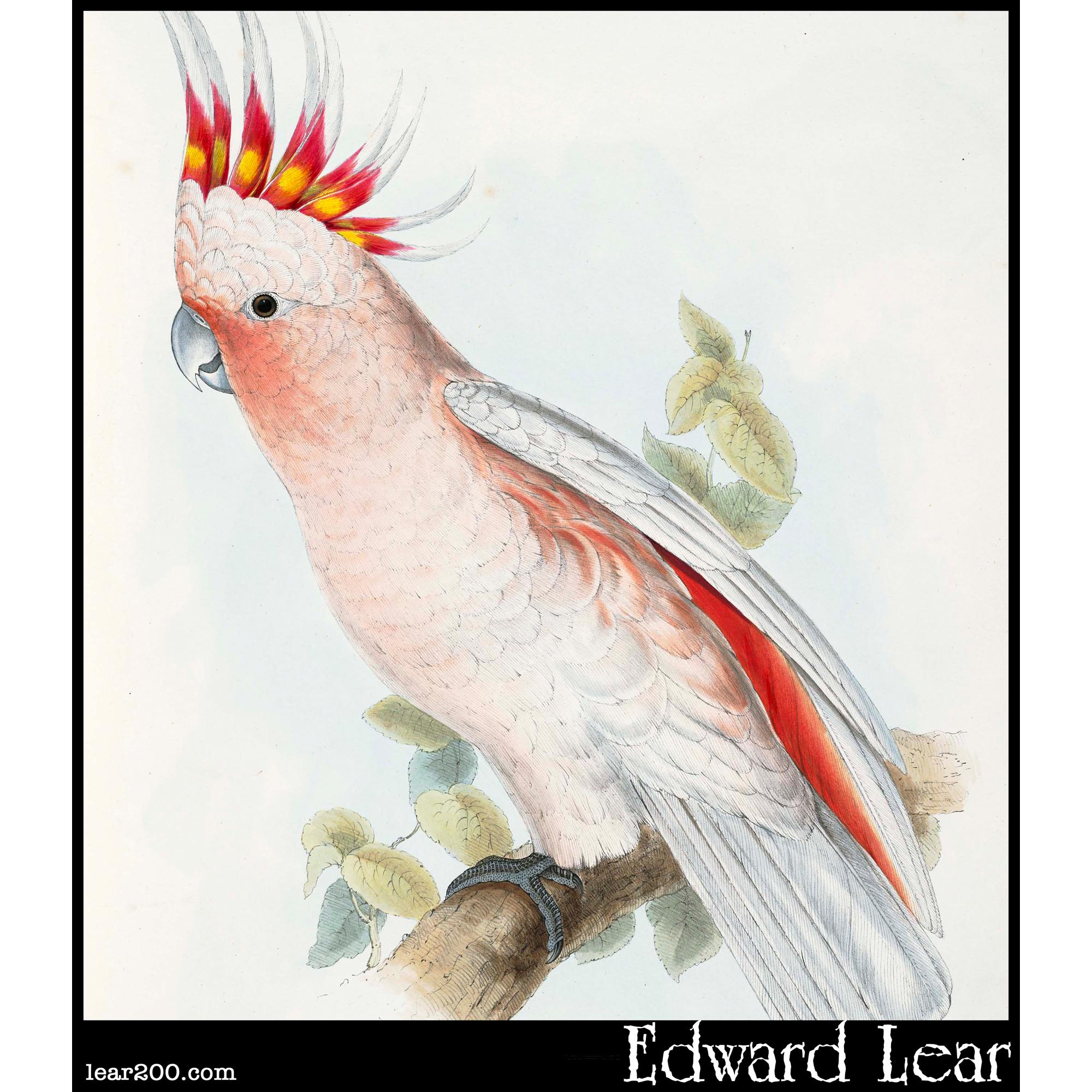 Leadbeater's Cockatoo (Plyctolophus leadbeatteri)
