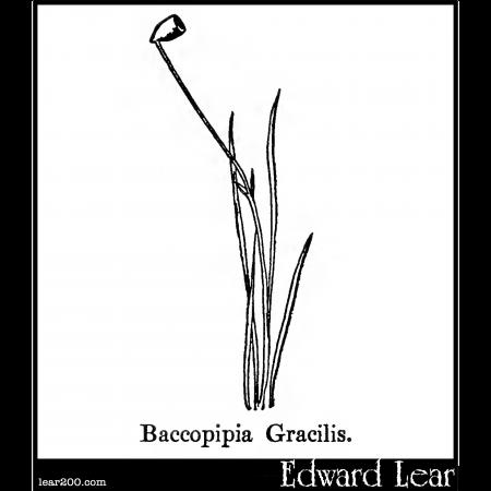 Baccopipia Gracilis.