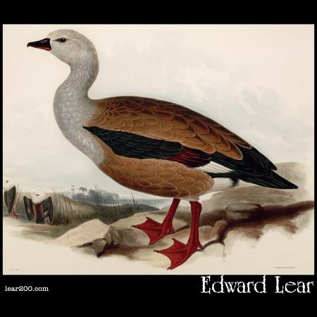 Maned Goose, Chenalopex jubata