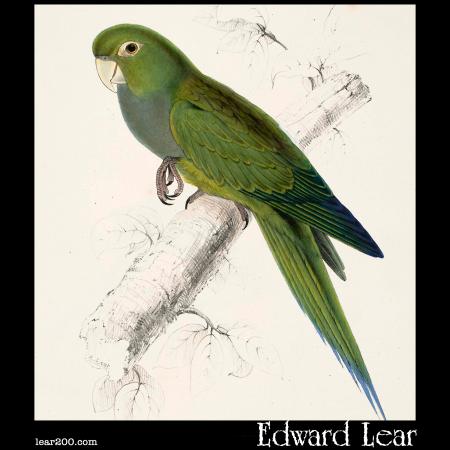 Dwarf Parakeet-Macaw (Psittacara nana )