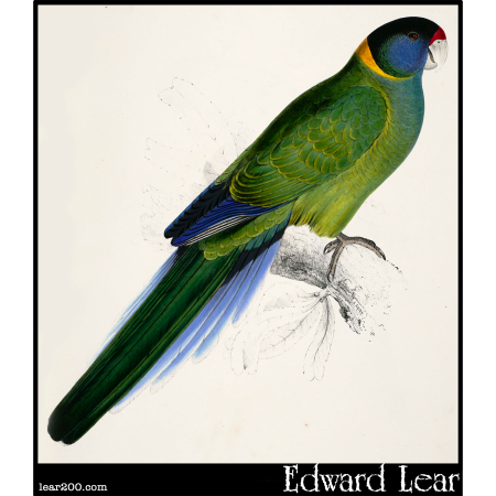 Platycercus baueri, the Bauer's Parakeet