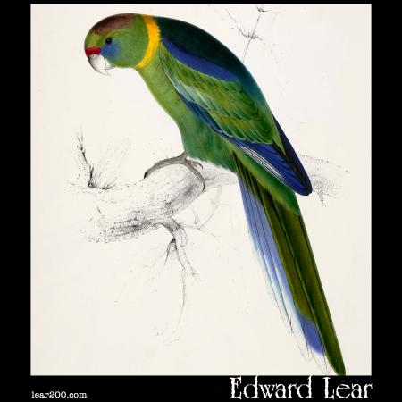 Platycercus barnardi, Barnard's Parakeet
