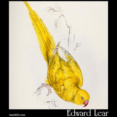 Palaeornis torquatus, Rose-Ringed Parakeet