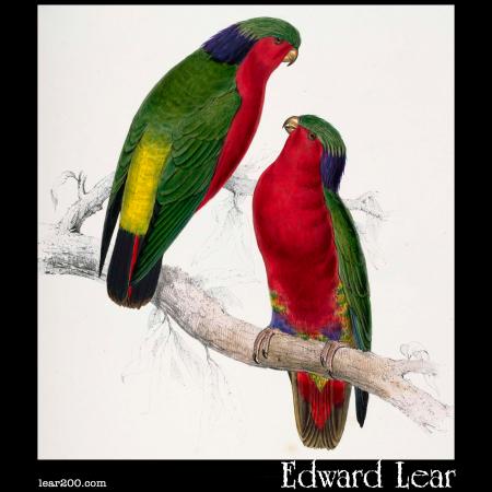 Psittacula kuhlii, Kuhl's Parakeet