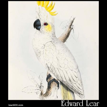 Lesser Sulphur-Crested Cockatoo (Plyctolophus sulphureus )