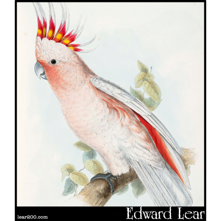 Leadbeater's Cockatoo (Plyctolophus leadbeatteri)