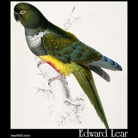Psittacara patagonica, the Patagonian Parakeet-Macaw