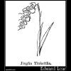 Jinglia Tinkettlia