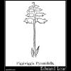 Piggiwiggia Pyramidalis