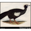 Piping Guan, Penelope pipile
