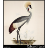 Wattled Crown Crane, Balearica regulorum, Wattled Crowned Crane