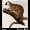 Red Macauco, Lemur rufus, Red Lemur