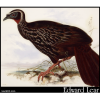 Eyebrowed Guan, Penelope superciliaris, White-browed Guan