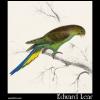 Undulated Parakeet (Nanodes undulates )