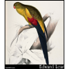Palaeornis melanura, Black-Tailed Parakeet