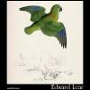 Psittacula torquata, Collared Parakeet